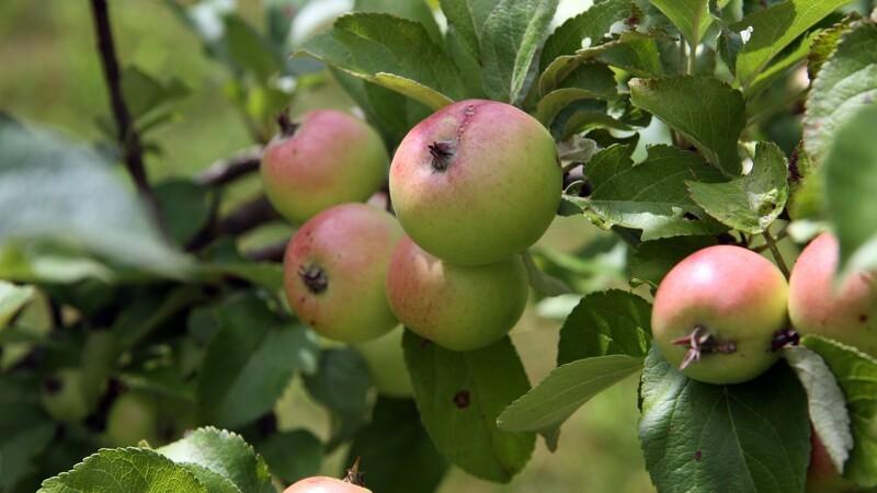 Tonsvis af gratis æbler på Nordfyn