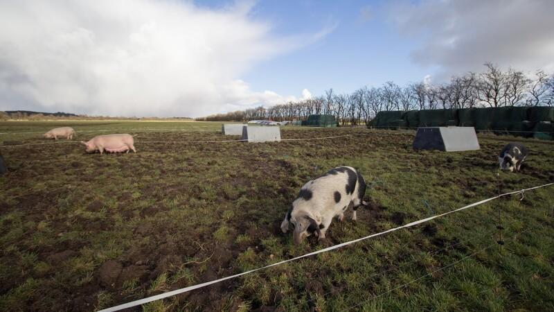 Svineprocenter skifter til ny type gris