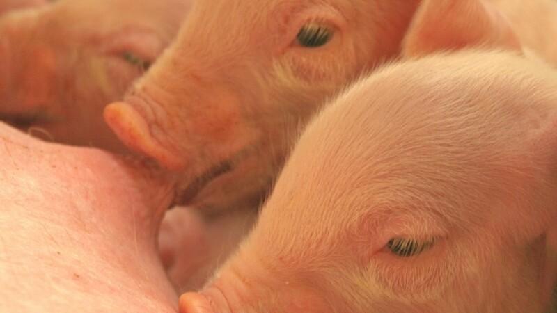 44,4 mio kr til bedre dyrevelfærd for svin
