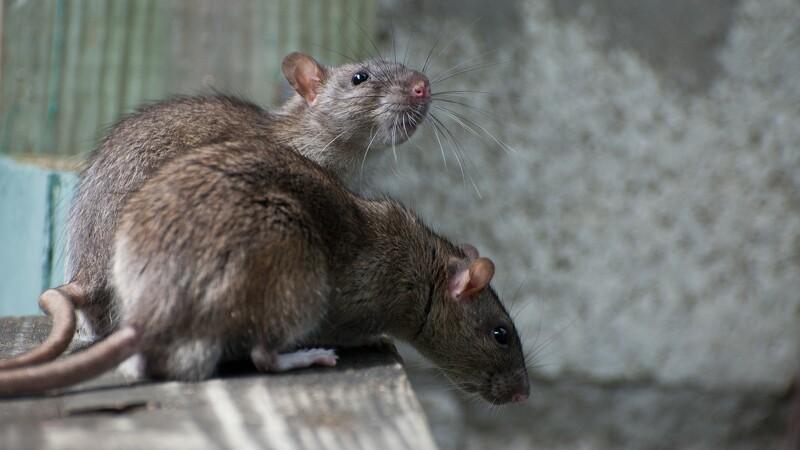Længe ventet rottekursus er aflyst