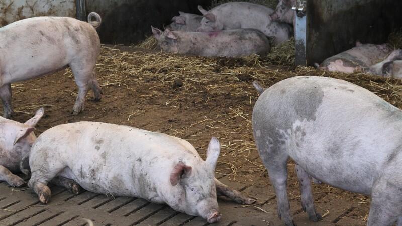 Grisetransport væltet: Flere grise er døde