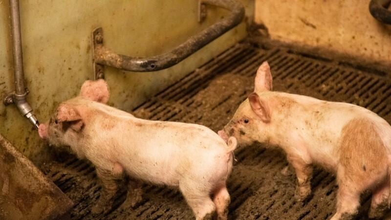 Dyrlæger roser forbud mod halekupering