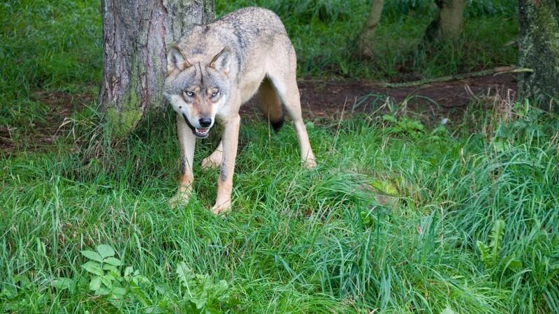 Ulvebestanden er stabil