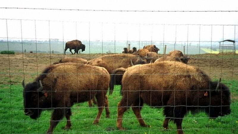 Landmand afliver 100 bisoner