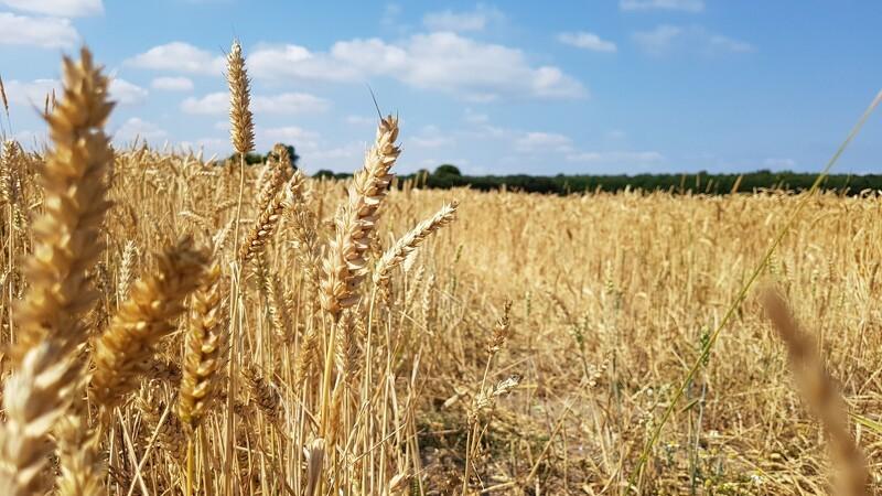 Jyske Markets: Globale hvedepriser fortsætter op