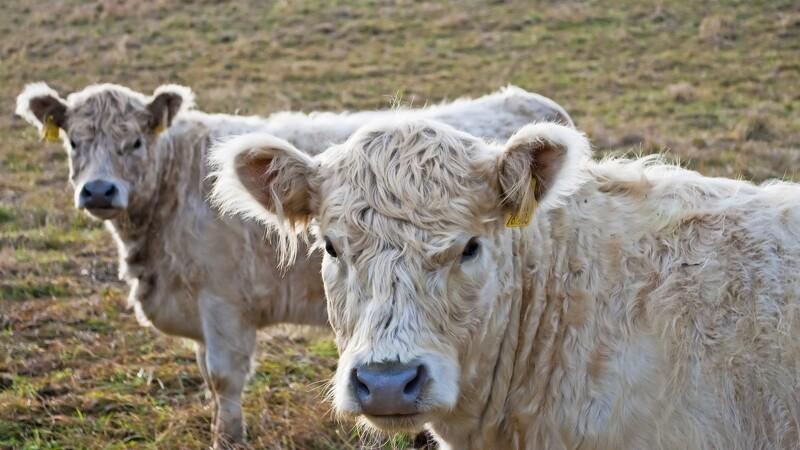 Kvægavler tiltalt for at lade kvæg sulte på øde ø