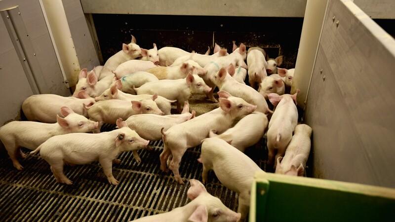 70.000 svin slået ned på kinesisk farm