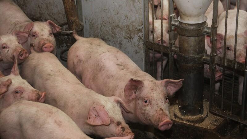 For mange passer ikke deres syge grise godt nok