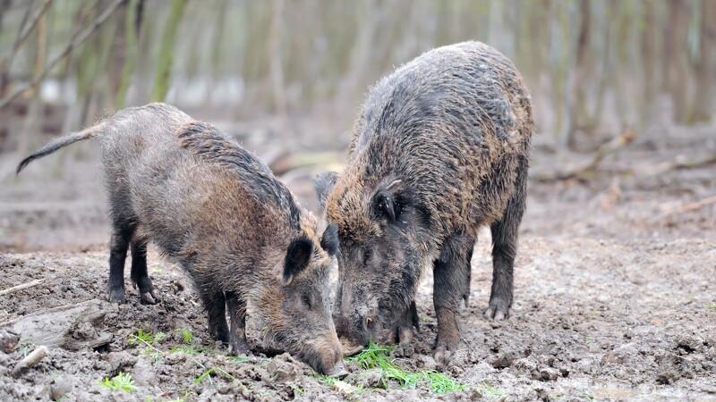 Massiv nedskydning af vildsvin i Polen