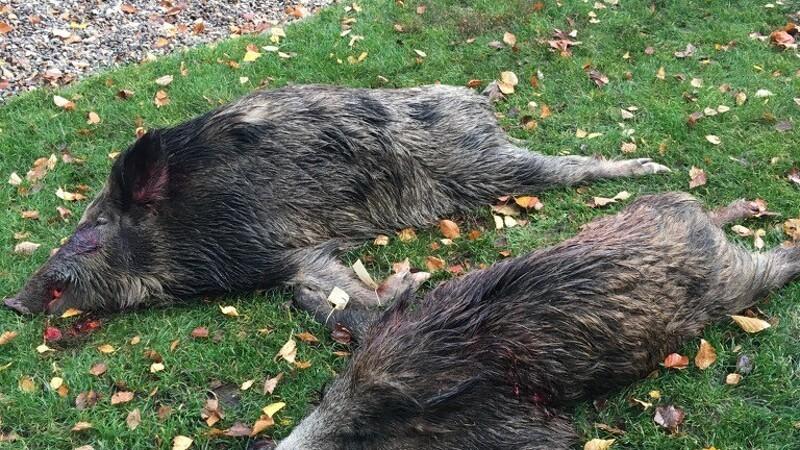 Nedskydning af vildsvin tæt ved den franske grænse