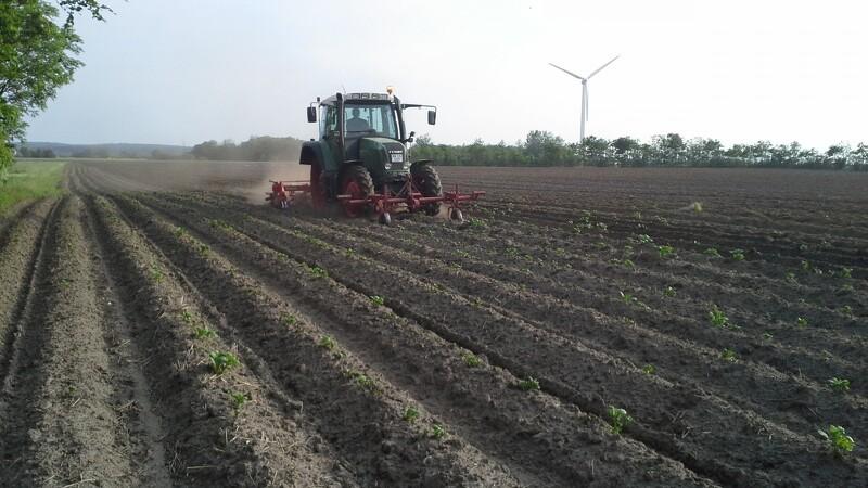 Dansk kartoffeleksportør taber sag om tre sorter i retten