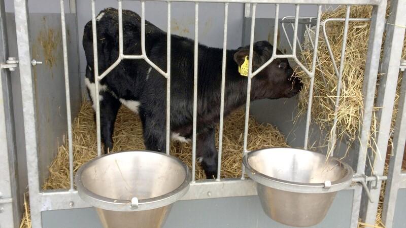 Dansk kalv skal være bæredygtig