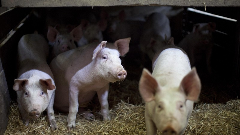 Stigning i svinenoteringen skyldes delvist situationen i Kina