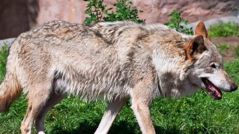 Nyt ulvepar har slået sig ned i Ulfborg