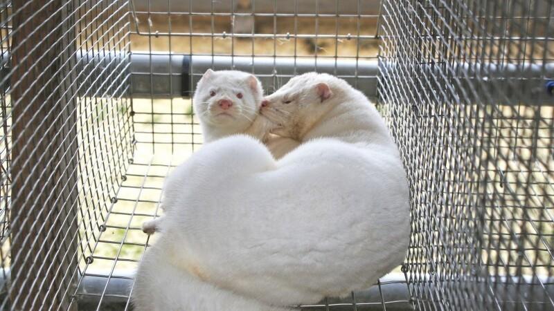 Erstatning til gravid minkmedarbejder
