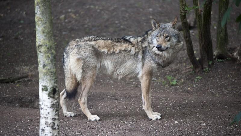 Ankesag om ulvedrab genoptages til september
