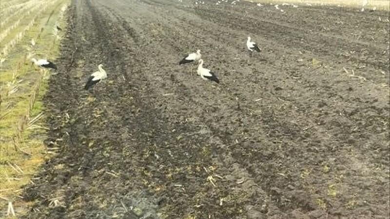 Fem storke set ved Fjerritslev