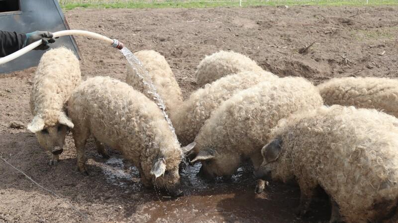 Tottede og tamme uldgrise renser jorden for rødder og ukrudt