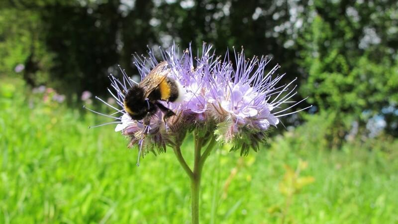 Økologer vil have flere vilde bier på vingerne