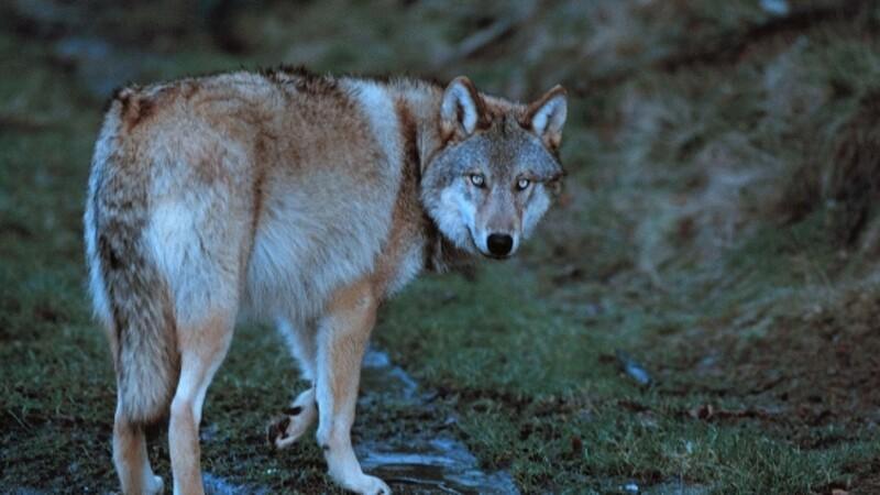 Landmand så ulveangreb: Der er spor efter en ulv