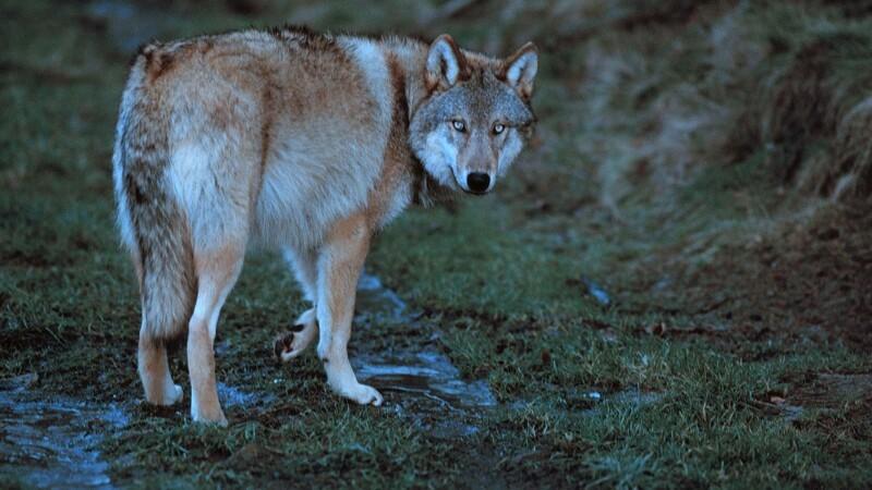 Landmand så ulv nær Esbjerg