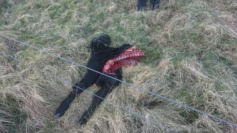 Vestjysk ulvekobbel dræbte kalv