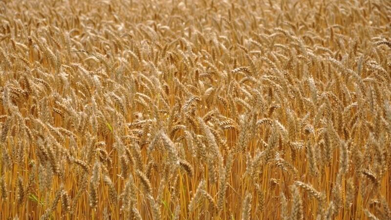 Jyske Markets: Ikar sænker estimat for russiske hvedeudbytter