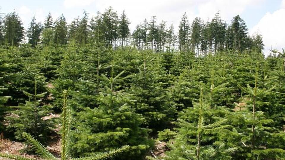 juletræsdyrkerforeningen