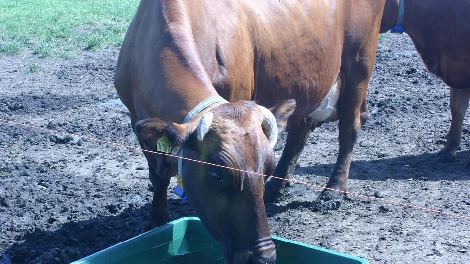 drikkekar til køer