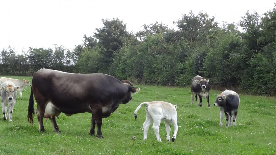 lov om hold af kvæg