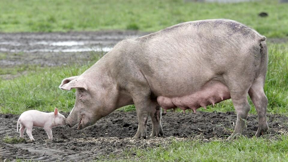 søer grise