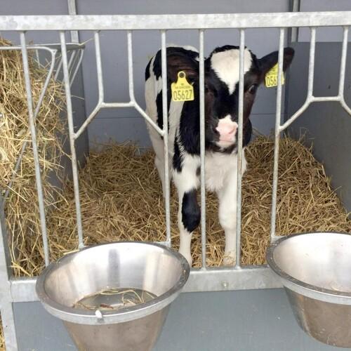 Undgå afhorning af helt unge kalve