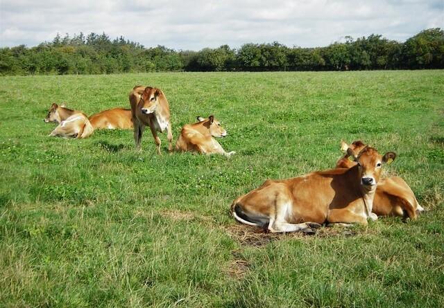 Kvægbruger - kend din klimabelastning