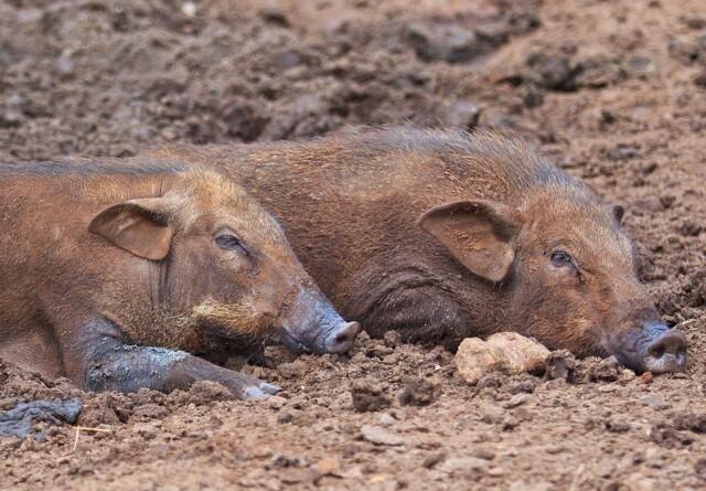 Smittet vildsvin blev fundet i en høstet majsmark