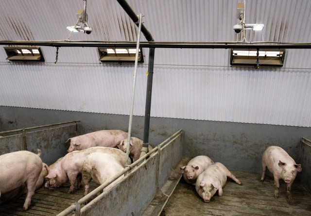 Sydkorea lukker for import af tysk svinekød