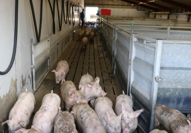 Svineproducenter kritiserer DC og Tican for at melde pas overfor slagtesituationen