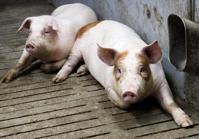 Svinenoteringen er uændret: Markedet er uforudsigeligt