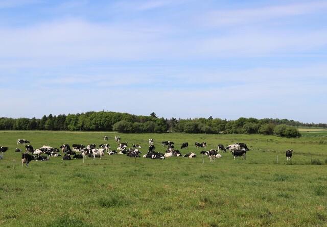 Holistisk afgræsning kan påvirke køernes ædeadfærd