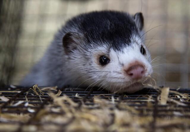 K og DF: Forskning i mink bør finansieres
