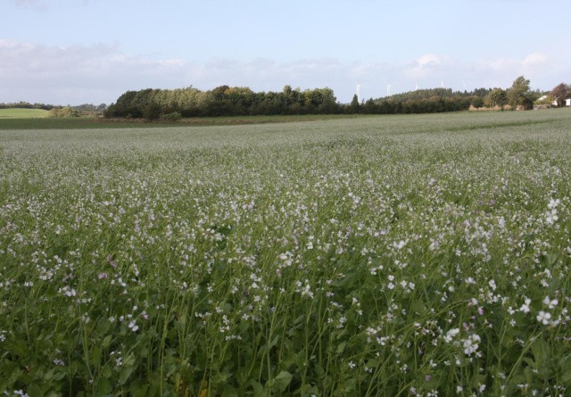 Kvælstoffikserende efterafgrøder bliver nye virkemiddel