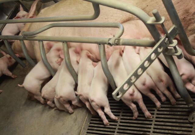 Langt flere pattegrise skal overleve i de danske stalde