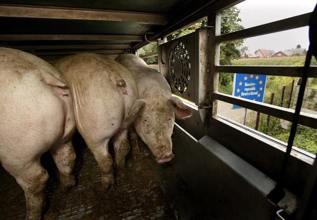 DC forklarer Netto-samarbejde: Svineproducenter raser