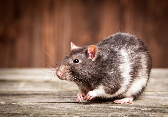 Endnu et rottekursus er på vej