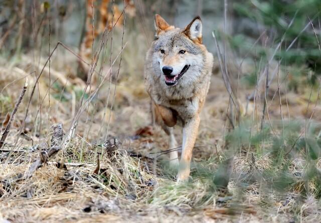 28 ulveangreb på husdyr