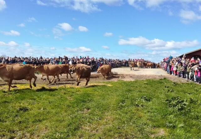 Kom og se øko-køerne danse på Djursland