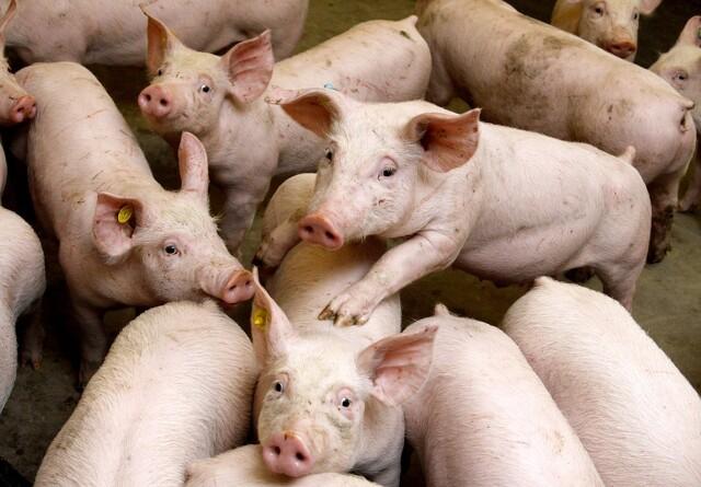 Svinepest: Kina står til at miste en tredjedel af sin svineproduktion