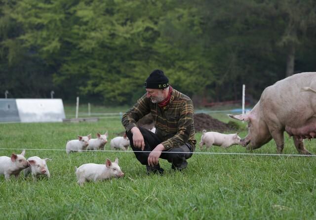 Salget af økologi boomer - bare ikke for grisekød og fjerkræ