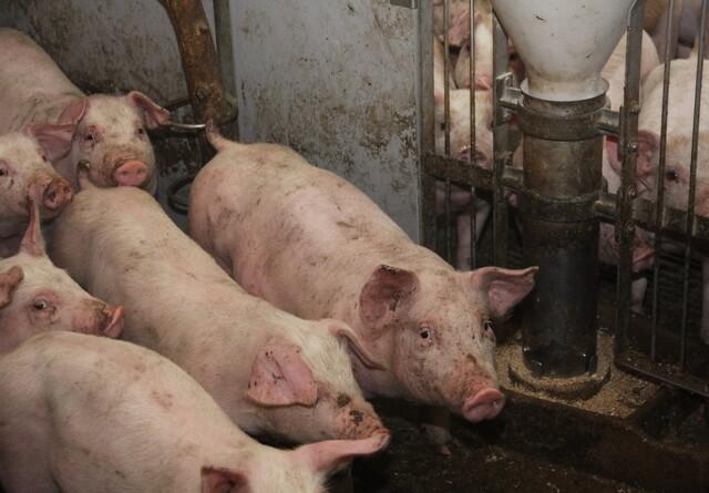 Antibiotikaforbruget til svin er fortsat dalende