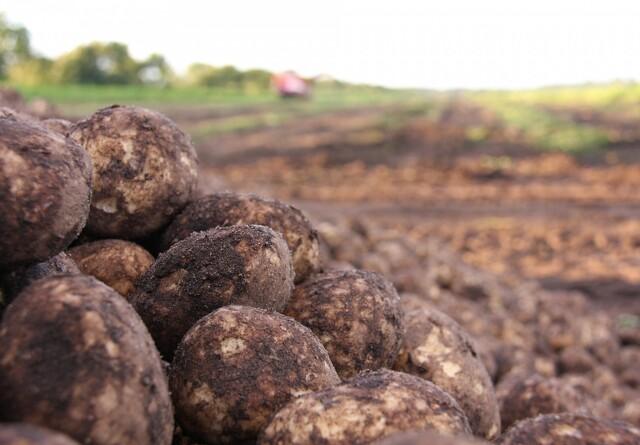Kartofler sætter lavt klimaaftryk