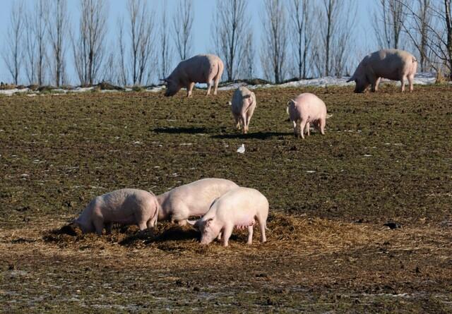5.000 så på øko-grise